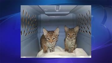 Two baby bobcats were turned in to the Arizona Humane Society. By Jennifer Thomas
