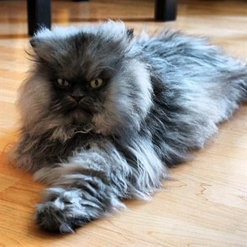 This is fur real. Colonel Meow has 9-inch hair.That's good enough to put the Himalayan-Persian mix into the 2014 edition of the Guinness World Records book, due out Sept. 12. By Facebook.com/colonelmeowinthecity