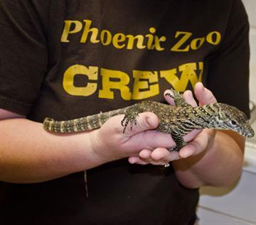 Baby Komodo dragon By Jennifer Thomas