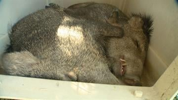 Three javelinas were rounded up and tranquilized at St. Theresa Catholic School in Phoenix. By Jennifer Thomas
