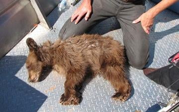 This bear cub ended up on a houseboat in Lake Powell. Biologists with the Utah Division of Wildlife Resources tranquilized and relocated the bear. By Jennifer Thomas