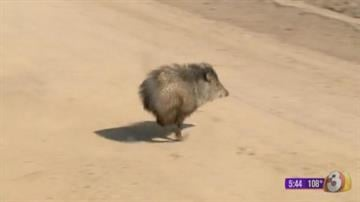 (FILE PHOTO) Two javelinas managed to sneak into Sun Devil Stadium in Tempe on Aug. 13. By Andrew Michalscheck
