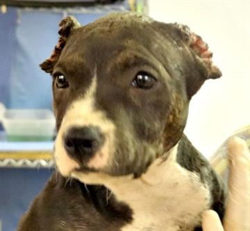 A pit bull puppy named Brooke was left with disfigured ears in a case of animal cruelty. By Jennifer Thomas