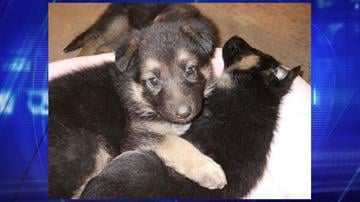 The German shepherd mix puppies will be available for adoption on Wednesday. By Jennifer Thomas