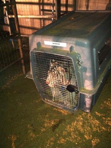 The Arizona Game and Fish Department seized two tigers that were found in Phoenix and Gilbert. By Jennifer Thomas