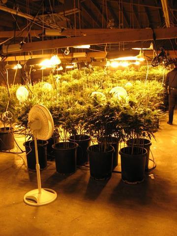 More than 650 marijuana plants were found in two Phoenix buildings. By Jennifer Thomas