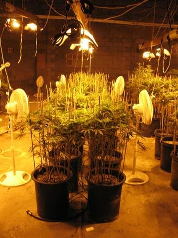 More than 650 marijuana plants were found in two Phoenix buildings. By Jennifer Thomas