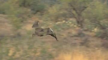Thirty-one bighorn sheep were released in Catalina State Park in November. By Mike Gertzman