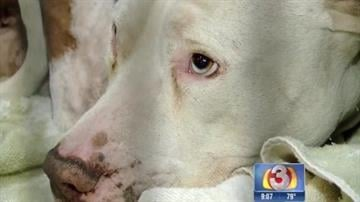 A pit bull bit a 4-year-old in the face. By Tami Hoey