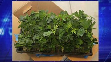 Marijuana plants were found in a rental truck. By Jennifer Thomas