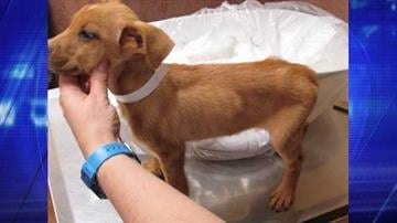 MCSO detectives seized seven puppies and a female dog from a Surprise home. By Jennifer Thomas