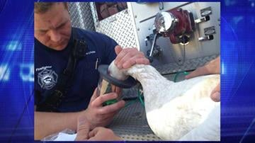 Ashton Caudle with the Queen Creek Fire Department gave the goose oxygen. By Jennifer Thomas