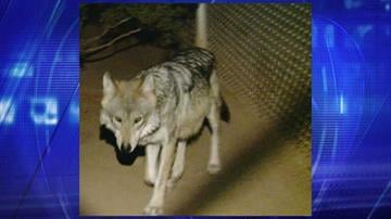 File photo of Mexican gray wolf By Jennifer Thomas