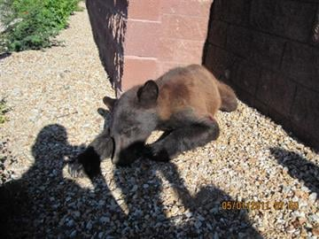 Peoria police and the Arizona Game and Fish Department captured a black bear wandering in a neighborhood in the Wing Mountain in 2011. By Natalie Flanzer