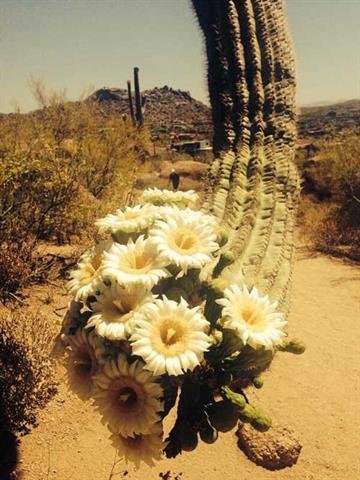 Photo of the saguaro taken on Monday By Jennifer Thomas