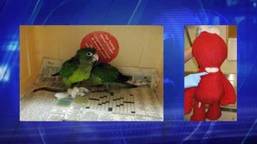 Agriculture specialists assigned to the Port of San Luis seized two live parrots that had been concealed inside an Elmo doll. By Jennifer Thomas