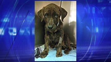 A 13-week-old brindle Labrador mix is recovering after accidentally ingesting rodent poison. By Jennifer Thomas