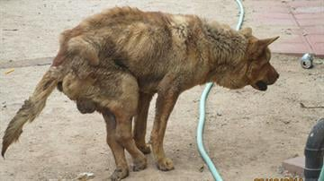 A chow mix was severely emaciated, had open sores on its legs and was paralyzed. By Jennifer Thomas