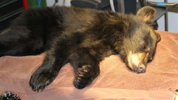 A Payson resident found an injured bear cub along the side of a highway. By Jennifer Thomas