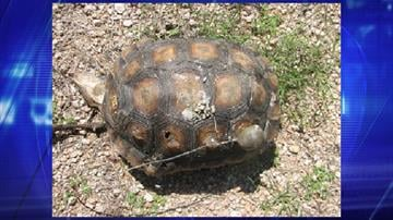 A desert tortoise was found shot near Fountain Hills. By Jennifer Thomas