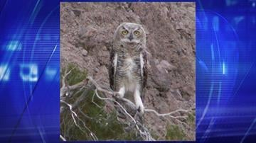 File photo of Great Horned Owl By Jennifer Thomas