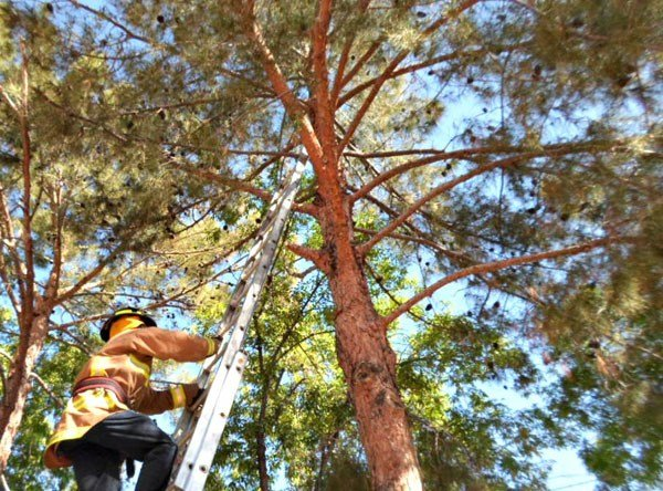 Firefighters responded with a tall ladder, but rescuers had to climb through the tree branches before they could reach the kitten. (Source: Arizona Humane Society)
