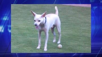 Cynthia Hardee was walking a white long-legged Chihuahua named Angel when she was hit by a pickup truck on Feb. 6. The suspect and dog have not been located. By Jennifer Thomas