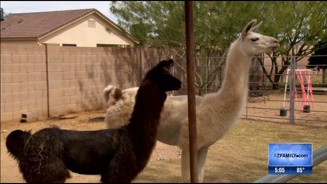 The Department of Agriculture said the owners of two llamas that ran wild through Sun City last month must be licensed to exhibit the llamas and allow anyone to take their photos. (Source: 3TV)
