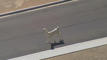 Two llamas escaped during a show-and-tell presentation and ran through Sun City in February.(Source: 3TV)