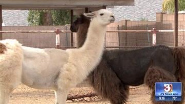 The owners of the two llamas that ran wild through Sun City may not be following federal requirements. (Source: 3TV)