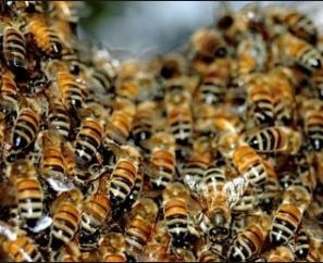Bee activity increases with warming spring weather.  Saturday 18 March 2017