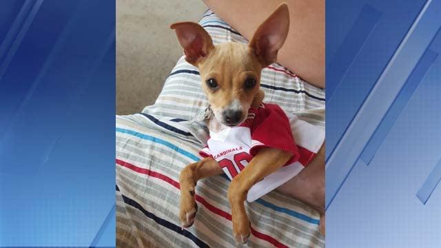 Cash the dog, sporting an Arizona Cardinals jersey. (Source: Diana Alvarez)