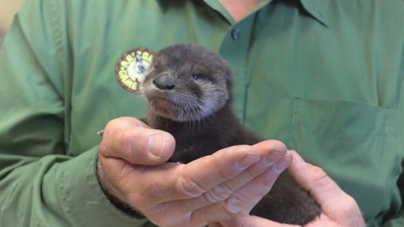 Srp Employees Rescue Baby Otter From Arizona Canal Wsmv