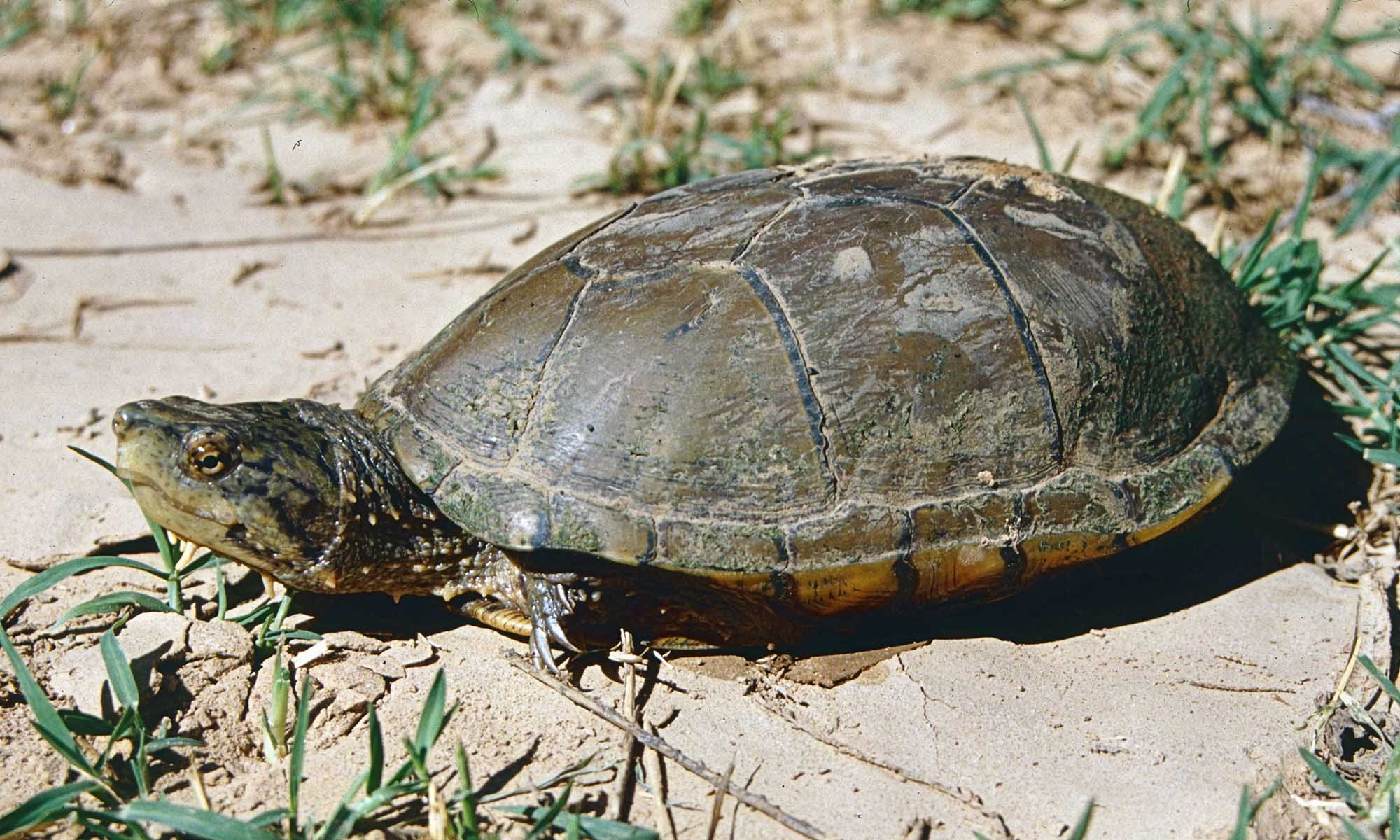 With as few as 100 left arizona turtle wins endangered for Turtle fish games