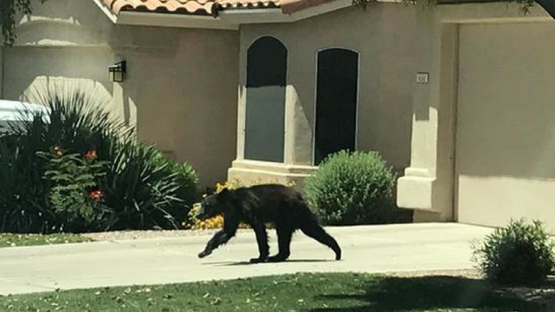 Young bear spotted in mesa officials now believe it has for Red mountain motors mesa az