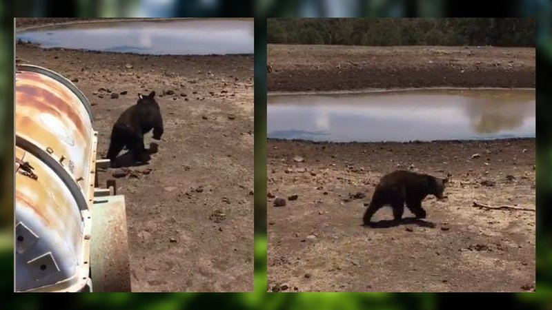 Young bear caught 39 dumpster diving 39 near payson arizona for Az game and fish dept